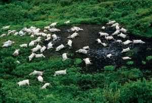Zebù morti sulle rive del lago Nyos